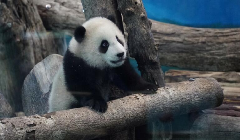 Pui de panda gigant prezentat publicului la Taipei Zoo