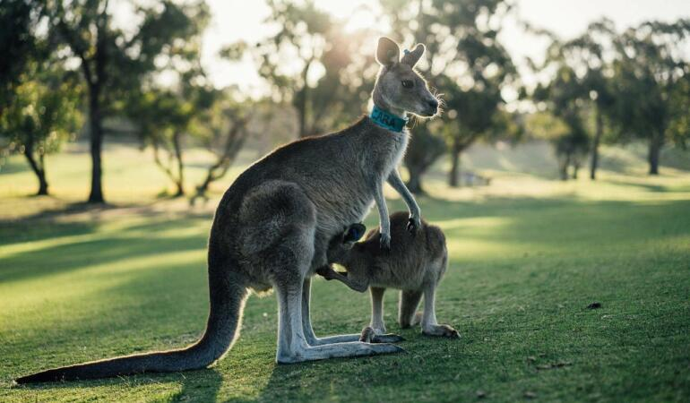 Cât de asemănători sunt cangurii și oamenii