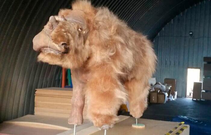 Un nou rinocer blănos a fost descoperit în Rusia