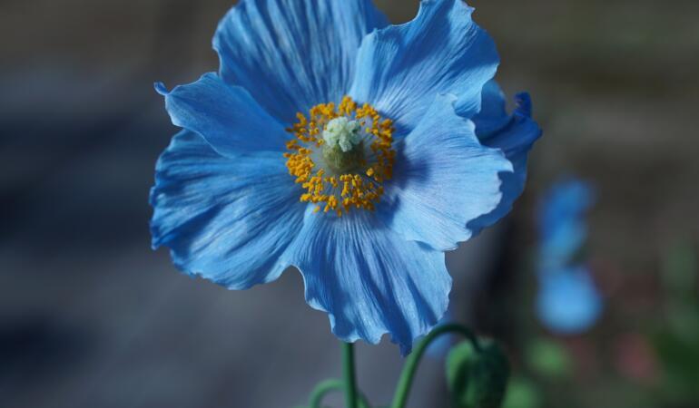 Macul albastru de Himalaya, o adevărată frumusețe a naturii