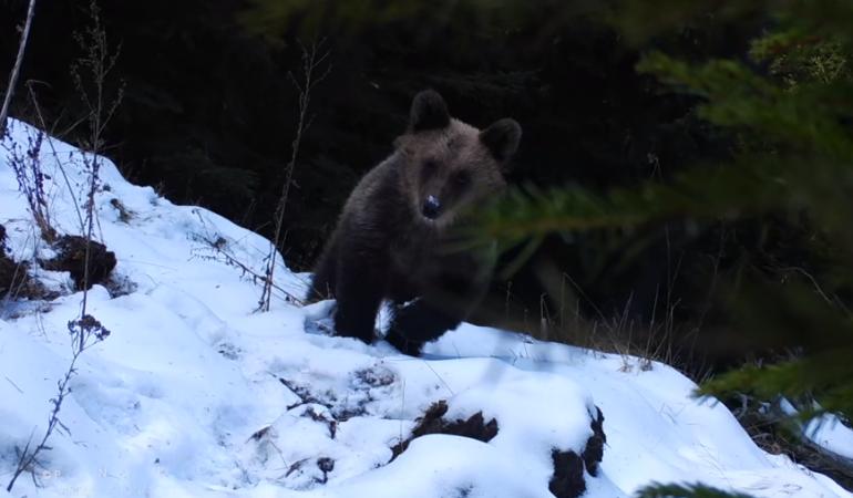 Urșii fac lucruri trăznite. Un pui a desprins o cameră de monitorizare a faunei