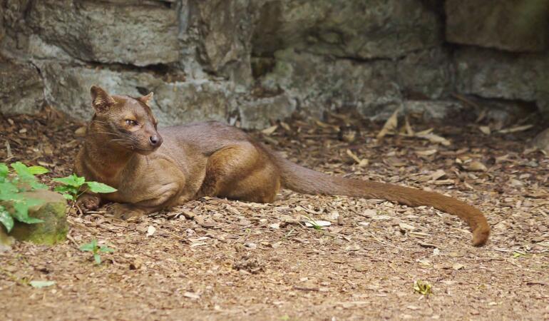 Cele mai neobișnuite animale care trăiesc pe Pământ. Fossa, cel mai mare carnivor din Madagascar