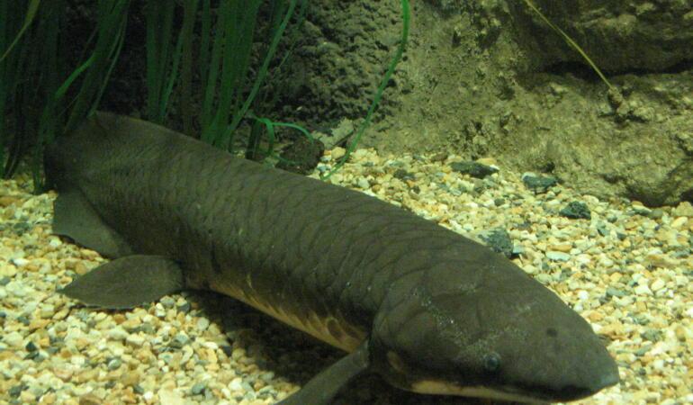 Descoperire ştiinţifică: Cum arată cea mai apropiată rudă a noastră dintre pești?