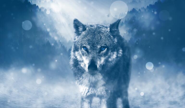 Lupii se pot atașa de oameni precum câinii