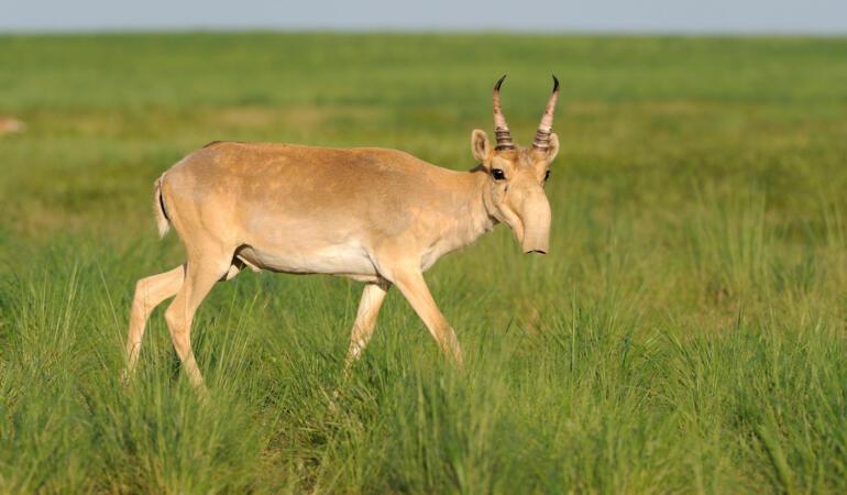 Cele mai neobișnuite animale care trăiesc pe Pământ. Antilopa saiga, animalul care pare venit din filmele Star Wars