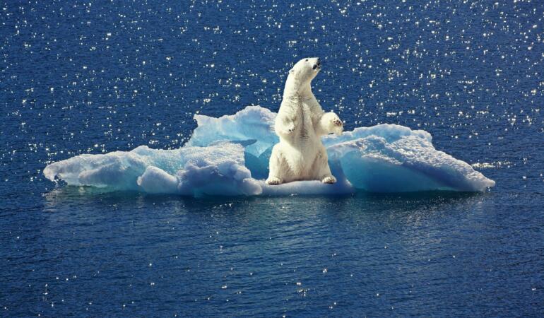 Urșii polari folosesc de patru ori mai multă energie pentru a supraviețui