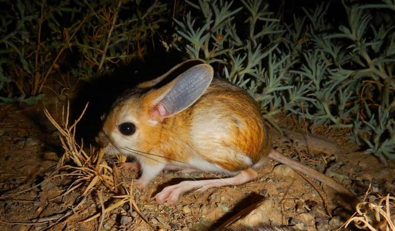 Jerboa, animalul cu cele mai mari urechi