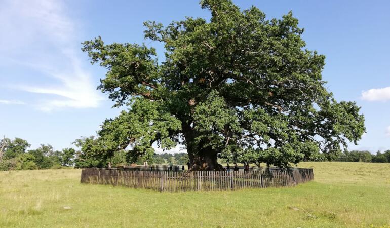 Cel mai în vârstă copac din România: Bătrânul Carpaților