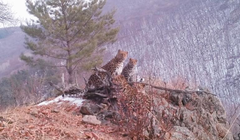 Cea mai rară felină din lume a fost văzută alături de puii ei