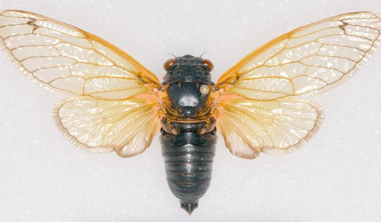 Cele mai neobișnuite animale care trăiesc pe Pământ. Cicada periodică, cea mai zgomotoasă insectă din lume