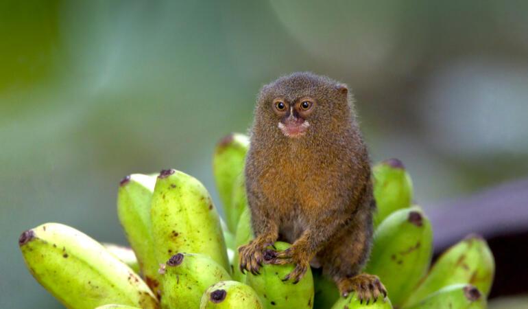 Cele mai neobișnuite animale care trăiesc pe Pământ. Marmoseta pigmeu, cea mai mică maimuță din lume
