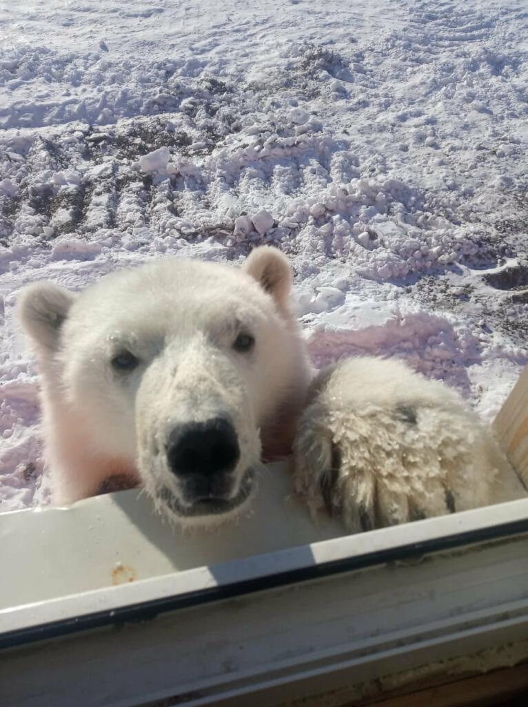 Minerii au salvat de pe o insulă un urs polar orfan
