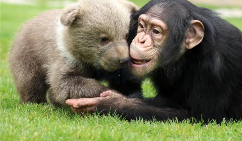 Un pui de urs și un cimpanzeu au devenit cei mai buni prieteni
