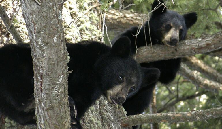 Urșii din SUA devin prietenoși. Iată care este motivul