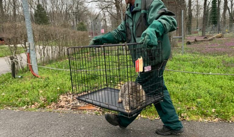 Animalele Grădinii Zoologice din Timișoara au început să fie mutate. Aflați unde vor ajunge