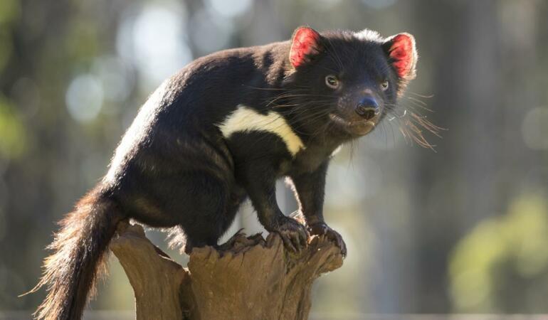 Cele mai neobișnuite animale care trăiesc pe Pământ. Diavolul tasmanian, cel mai mare mamifer marsupial carnivor