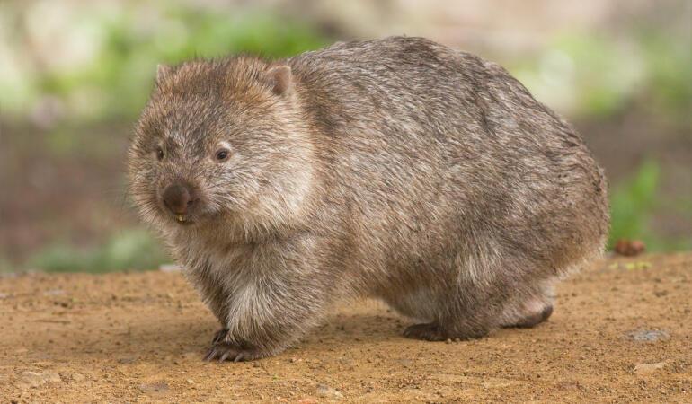 Cele mai neobișnuite animale care trăiesc pe Pământ. Vombatidele, teroarea fermierilor australieni