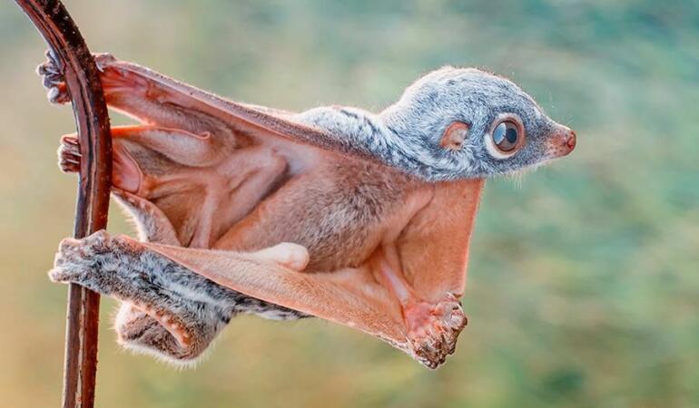 Cele mai neobișnuite animale care trăiesc pe Pământ. Colugo, mamiferul plutitor preistoric