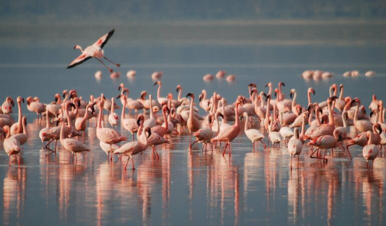 Păsările flamingo au venit în România, însă oamenii le-au alungat