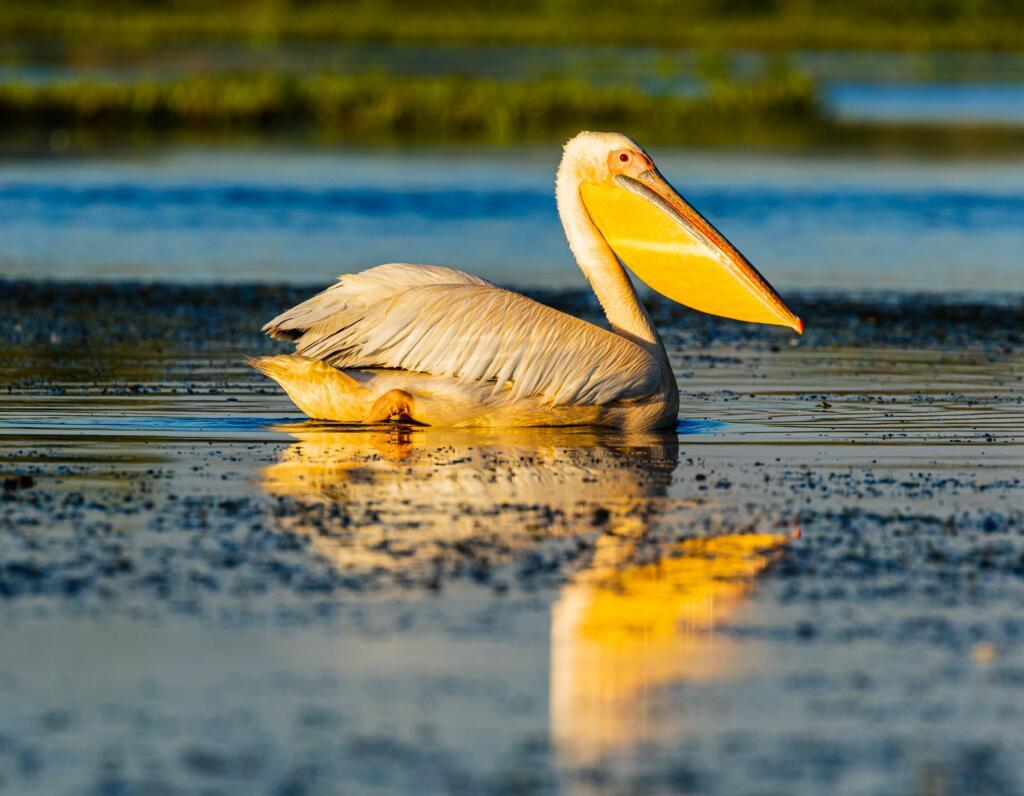 Pelicanii s-au întors în Parcul Natural Balta Mică a Brăilei