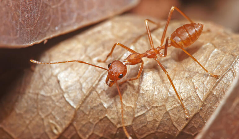 Cele mai neobișnuite animale care trăiesc pe Pământ. Furnica țesătoare, pesticidul natural