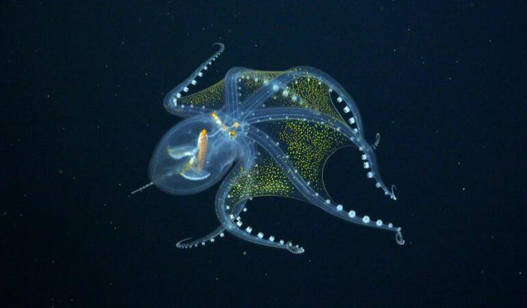 Cele mai neobișnuite animale care trăiesc pe Pământ. Caracatița de sticlă, caracatița invizibilă
