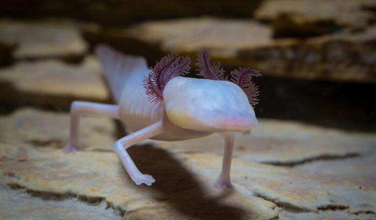 Cele mai neobișnuite animale care trăiesc pe Pământ. Olmul, animalul care rezistă 10 ani fără mâncare