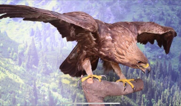 COMORILE MUZEELOR. O pasăre spectaculoasă: Acvila de Munte