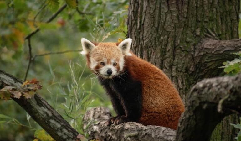 Cele mai neobișnuite animale care trăiesc pe Pământ. Panda roșu, animalul carnivor vegetarian