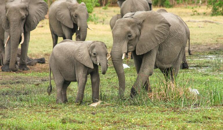 Știri din lumea elefanților. Ce fac giganticele mamifere de ziua lor