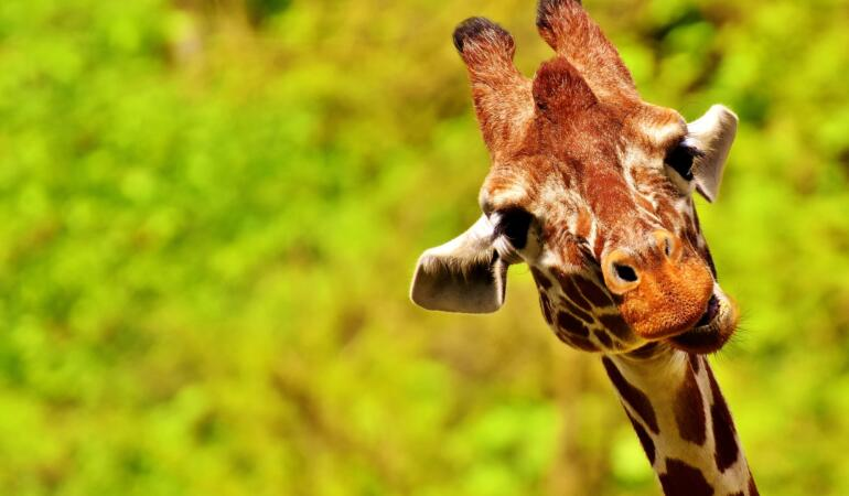 Inteligența girafelor. Acum știm exact cât sunt de deștepte