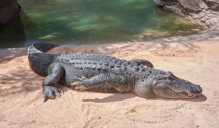 Crocodili pe cale de dispariție descoperiți în Cambodgia