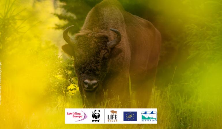 După 200 de ani, avem din nou zimbri în pădurile din România. LIFE RE-Bison