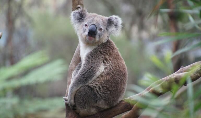 Koala a fost inclus pe lista animalelor pe cale de dispariție