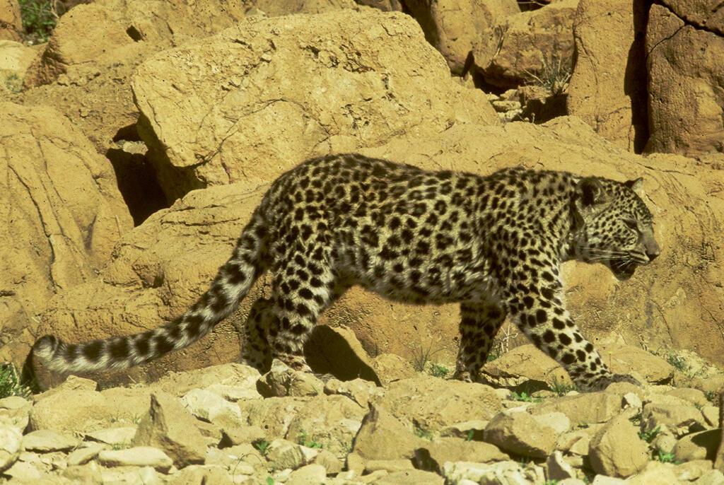 cea mai mică specie de leopard